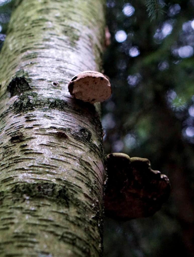 białoporek brzozowy
